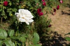 特写镜头在树,纯净的爱概念,第一个爱概念,宏观图象的白色玫瑰 库存图片