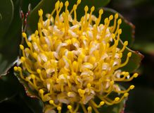 特写镜头在植物的明亮的红色和黄色普罗梯亚木花有叶子的在背景南非中 开普敦 针垫 免版税图库摄影