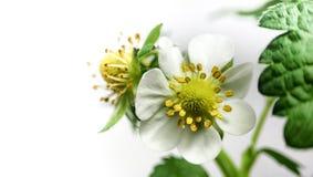 特写镜头在罐的草莓花 未成熟的莓果 在白色背景的宏指令 免版税库存图片