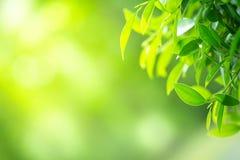 特写镜头在被弄脏的bokeh背景的绿色叶子 免版税图库摄影