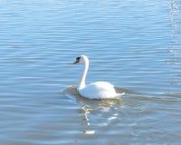 特写镜头在都市公园的大疣鼻天鹅游泳在Carrollton, 免版税库存图片