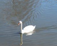 特写镜头在都市公园的大疣鼻天鹅游泳在Carrollton, 库存照片