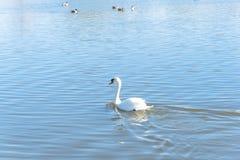 特写镜头在都市公园的大疣鼻天鹅游泳在Carrollton, 免版税图库摄影
