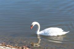 特写镜头在都市公园的大疣鼻天鹅游泳在Carrollton, 免版税库存照片