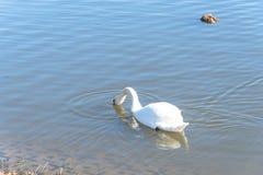 特写镜头在都市公园的大疣鼻天鹅游泳在Carrollton, 库存图片