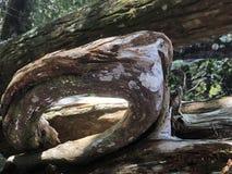 特写镜头在Chassahowitzka河的被风化的木头 库存图片