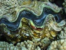 特写镜头壳巨蛤 库存照片