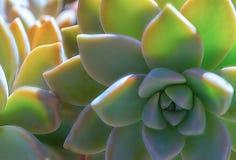 特写镜头多汁绿色植物仙人掌 Echeveria 免版税库存照片