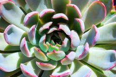 特写镜头多汁绿色植物仙人掌 Echeveria 免版税库存图片
