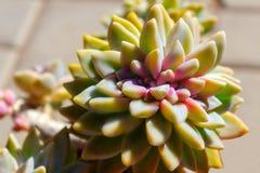 特写镜头多汁绿色植物仙人掌 Echeveria 库存图片