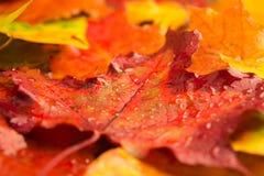 特写镜头多雨红色明亮的槭树背景设计 图库摄影
