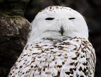 特写镜头多雪猫头鹰的纵向 免版税库存图片