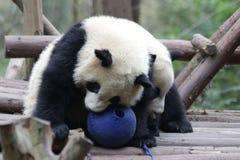 特写镜头大熊猫` s Cub,成都,中国 库存照片