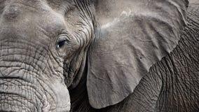 特写镜头大象表面 免版税库存照片