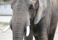 特写镜头大象 免版税库存照片