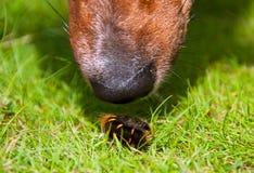 特写镜头好奇狗毛茸的嗅蠕虫 免版税库存图片