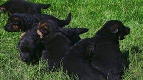 特写镜头孩子手汇集八只幼小德国牧羊犬小狗 影视素材