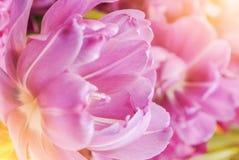 特写镜头宏观美丽的桃红色紫罗兰色豪华的充满活力的郁金香瓣, 免版税库存照片