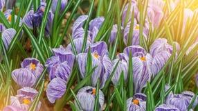 特写镜头宏观美丽的紫罗兰色白色豪华的充满活力的番红花, spr 免版税库存图片