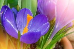 特写镜头宏观美丽的紫罗兰色豪华的充满活力的番红花,春天fl 免版税库存图片