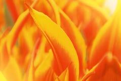 特写镜头宏观美丽的红色橙黄色豪华的充满活力的郁金香pe 图库摄影