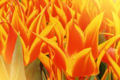 特写镜头宏观美丽的红色橙黄色豪华的充满活力的郁金香pe 免版税库存照片