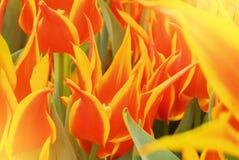 特写镜头宏观美丽的红色橙黄色豪华的充满活力的郁金香pe 库存图片