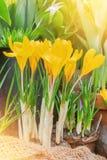 特写镜头宏观美丽的黄色豪华的充满活力的番红花,春天fl 库存图片