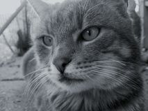 特写镜头家养的灰色猫,休息的时刻 免版税库存图片