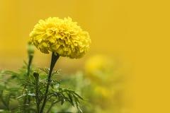 特写镜头射击了单独大开花的新鲜的万寿菊在黄色b 库存图片