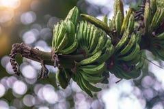 特写镜头射击了狂放的香蕉束未成熟在绿色bokeh backgro 库存照片