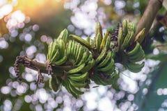 特写镜头射击了狂放的香蕉束未成熟在绿色bokeh backgro 免版税库存图片