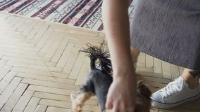 特写镜头小犬座与所有者的约克夏狗在获得的家度过一天演奏和乐趣 股票视频