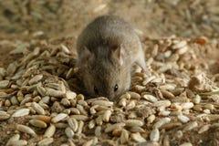 特写镜头小田鼠老鼠开掘一个孔入五谷在仓库并且看照相机 免版税库存图片