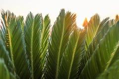 特写镜头年轻棕榈树绿色叶子在后面照的阳光下 免版税库存图片