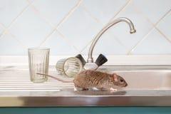 特写镜头幼小鼠在水槽四处觅食在两块雕琢平面的玻璃背景的厨房  图库摄影