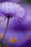 特写镜头开花好的模式紫罗兰 免版税图库摄影