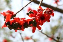 特写镜头开花棉花的花,花荚Shimul红色丝光木棉树在Munshgonj,达卡,孟加拉国 免版税库存图片