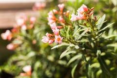 特写镜头开花的夹竹桃夹竹桃绿色叶子自然视图在庭院里 使用作为背景或w,自然绿色植物环境美化 库存图片