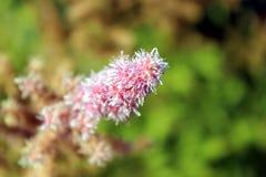 特写镜头开花的蓬松桃红色花 库存照片