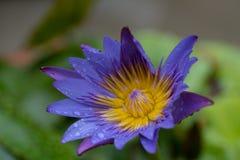 特写镜头开花被射击的紫色waterlily 免版税库存照片