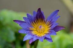 特写镜头开花被射击的紫色waterlily 免版税库存图片
