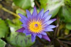 特写镜头开花被射击的紫色waterlily 库存图片