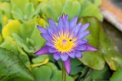 特写镜头开花被射击的紫色waterlily 库存照片