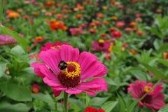 特写镜头弄糟百日菊属蜂授粉的洋红色色花  库存图片