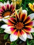 特写镜头微型大丁草宏观瓣和杵在花potÂ的 库存照片