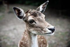特写镜头惊吓了鹿 免版税库存图片