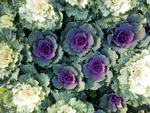 特写镜头新鲜的多颜色莴苣菜 库存照片