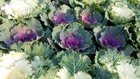 特写镜头新鲜的多颜色莴苣菜 免版税库存照片