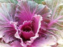特写镜头新鲜的多颜色莴苣菜 库存图片